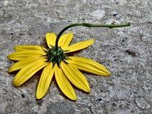 Gelbe Blume geworfen auf grauem Beton Stockfotografie