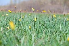 Gelbe Blume im üppigen grünen Gras Stockfotos