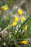 Gelbe Blume im üppigen grünen Gras Lizenzfreie Stockfotografie