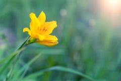 Gelbe Blume im grünen Gras Lizenzfreie Stockfotos