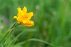 Gelbe Blume im grünen Gras Stockfotos