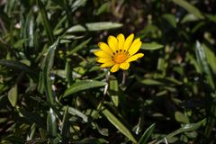 Gelbe Blume im grünen Gras Blüte und Gartenarbeitkonzept Frühlings- und Sommerwiese stockfotos