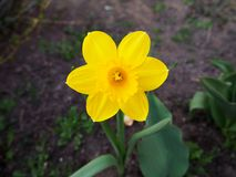 Gelbe Blume ist die Gartenmakroansicht lizenzfreie stockbilder