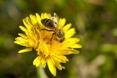 Gelbe Blume mit Biene Lizenzfreies Stockfoto