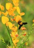 Gelbe Blume mit Biene Stockbild