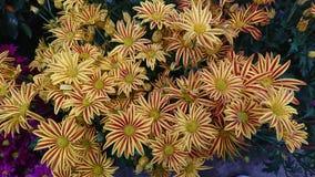 Gelbe Blume mit Burgunder-Streifen Stockfotos