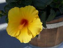 Gelbe Blume mit dem vorstehenden Staubgefässe in Griechenland stockfotografie