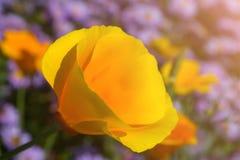 Gelbe Blume mit den breiten Blumenblättern gegen einen Hintergrund von blauen Blumen lizenzfreies stockbild