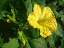 Gelbe Blume mit den orange Staubgefässen Stockfotos