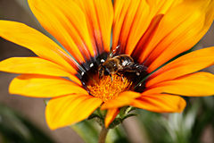 Gelbe Blume mit einer Biene Lizenzfreies Stockfoto