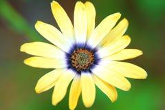 Gelbe Blume mit farbiger Mitte Lizenzfreie Stockfotografie