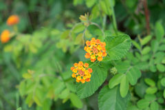 Gelbe Blume mit grünen Blättern Lizenzfreie Stockfotos