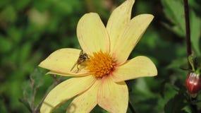 Gelbe Blume mit Hummel Lizenzfreie Stockfotografie