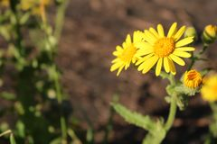 Gelbe Blume mit Knöpfen beim Anfang der Öffnung lizenzfreie stockfotografie
