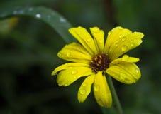 Gelbe Blume mit Regentropfen Lizenzfreie Stockfotografie
