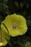 Gelbe Blume mit Tau Stockbilder