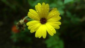 Gelbe Blume nach Regennahaufnahme Stockfoto