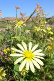 Gelbe Blume in Namaqualand Lizenzfreies Stockbild