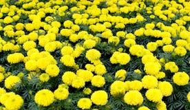 Gelbe Blume, Ringelblume Lizenzfreies Stockbild
