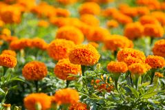 Gelbe Blume, Ringelblume Stockbilder