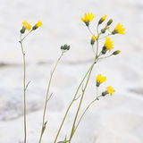 Gelbe Blume am Strand Stockfotografie