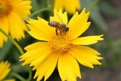 Gelbe Blume und Biene lizenzfreie stockfotos