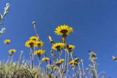 Gelbe Blume und blauer Himmel Stockfotografie