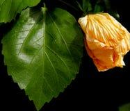 Gelbe Blume und grünes Blatt Lizenzfreies Stockbild