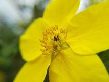 Gelbe Blume und kleine Wanze Stockfotos