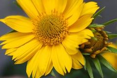 Gelbe Blume und Knospe Stockbilder