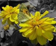 Gelbe Blume und Schmetterling Stockfoto