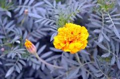 Gelbe Blume und ungeöffnete Knospe lizenzfreie stockfotografie