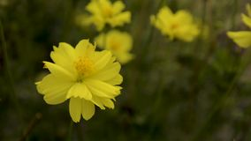 Gelbe Blume verwischt stock footage