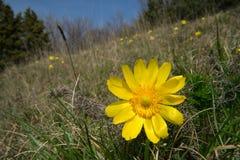 Gelbe Blume von Adonis Lizenzfreie Stockfotos