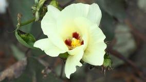 Gelbe Blume von Baumwolle stock footage