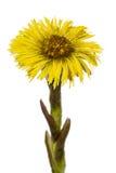 Gelbe Blume von Coltsfoot, Lat Tussilago farfara, an lokalisiert Stockbilder