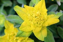 Gelbe Blume von Euphorbiengummi polychroma Stockfotos
