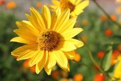 Gelbe Blume von groß-geblüht tickseed oder Coreopsis Grandiflora lizenzfreies stockbild