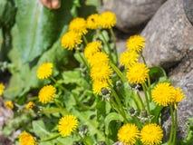 Gelbe Blume werden geblüht Lizenzfreies Stockbild