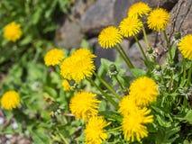 Gelbe Blume werden geblüht Stockbilder