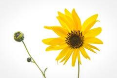 Gelbe Blume zwei auf einem weißen Hintergrund Stockfoto