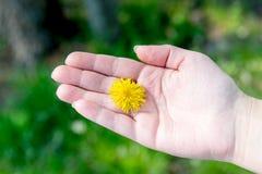 Gelbe Blume zwischen Fingern der Hand Hygiene und Handpflege Heromantiya Schätzen auf dem Arm stockfoto