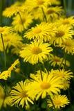Gelbe Blumen stockfotografie