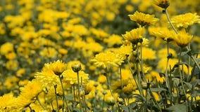 Gelbe Blumen stock footage