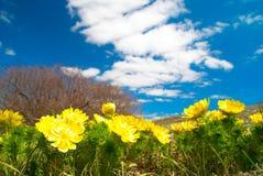 Gelbe Blumen (Adonis vernalis) Stockfotografie