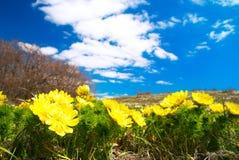 Gelbe Blumen (Adonis vernalis) Lizenzfreie Stockfotografie