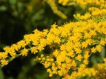 Gelbe Blumen auf Anlage Lizenzfreie Stockfotografie
