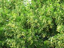 Gelbe Blumen auf Baum, Litauen Lizenzfreies Stockbild