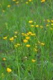 Gelbe Blumen auf dem Gebiet stockbilder