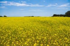 Gelbe Blumen auf einem Feld mit blauem Himmel Stockbild